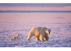 动物,北极熊,友,雪,狐狸190233