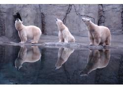 动物,北极熊,反射198303