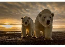 动物,北极熊,太阳,云,性质293928