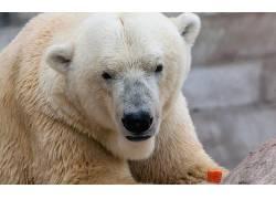 动物,北极熊136485