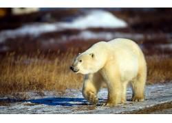 动物,北极熊197821