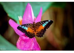 动物,宏,昆虫,蝴蝶,花卉,粉色的花朵338005