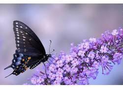 动物,宏,昆虫,蝴蝶,花卉,紫色的花朵338002