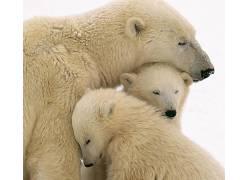 动物,北极熊301967