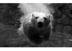 动物,单色,北极熊,水下180361