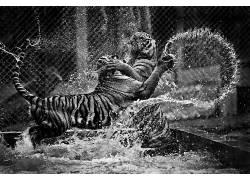 动物,单色,虎,波浪,水1632