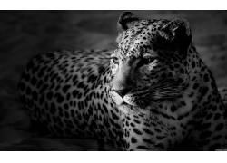 动物,单色,豹(动物)2332