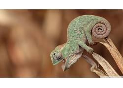 动物,变色龙,性质,快乐,皮肤,张开嘴,景深,植物,绿色,尾巴,特写,图片