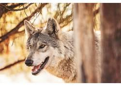 动物,哺乳动物,狼366132