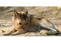 动物,哺乳动物,狼366224