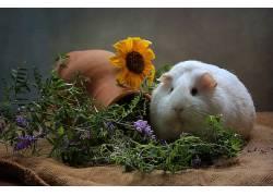 动物,哺乳动物,豚鼠,花卉,花盆,向日葵,紫藤339362