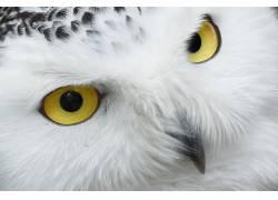 动物,喙,鸟类,眼睛,羽毛,性质,肖像,雪�^,猫头鹰,白色,野生动物35