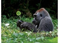 动物,大猩猩,树叶173312
