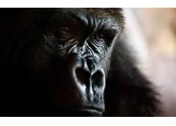 动物,大猩猩,特写,面对339812
