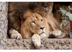 动物,大猫,狮子337148