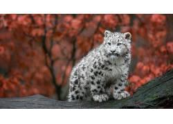 动物,大猫,雪豹,小动物,德国,秋季,豹(动物)345819