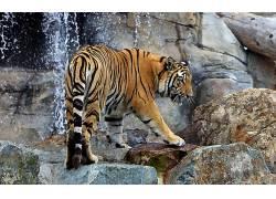 虎,动物378276
