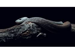 性质,蛇,爬行动物,野生动物,摄影,科,曼巴407057