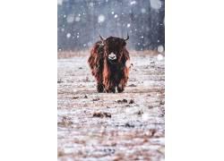 性质,野牛,雪,动物581877