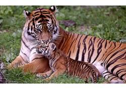 虎,动物379037