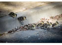 鸭,小动物,动物573828