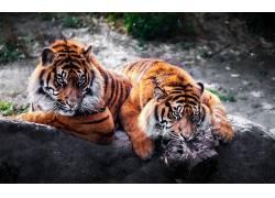虎,动物383451