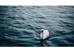 天鹅,池塘,水,鹅,动物452389