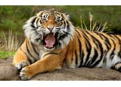 虎,动物383550