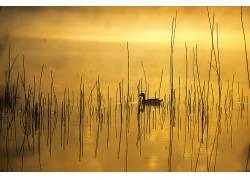 鸭,黄色,性质,动物,水592605