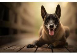 狗,动物,伸出舌头674894
