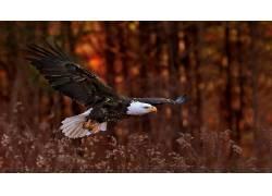 性质,鸟类,动物,鹰,白头鹰556498