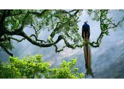 孔雀,树木,动物,鸟类429994