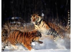 虎,动物387196