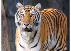 虎,动物387198