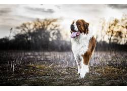 狗,动物,圣伯纳德633919