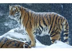 孟加拉虎,雪,野生动物,山460241