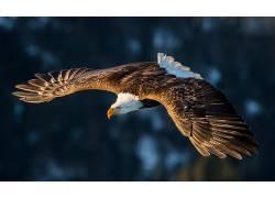 鹰,动物,鸟类,飞650351
