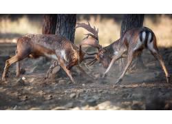 性质,鹿,动物578081