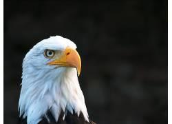 鹰,动物的眼睛,野生动物663820