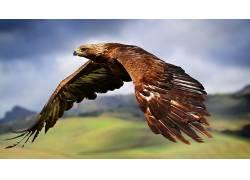 鹰,性质,模糊,鸟类,野生动物375152
