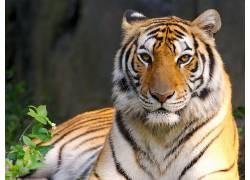 虎,动物387207
