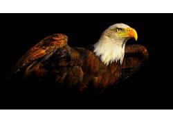 鹰,鸟类,动物,黑色的背景382886