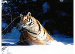 虎,动物387208