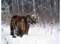 虎,动物387209