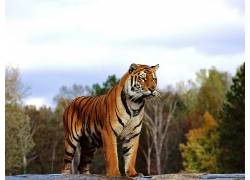 虎,动物387210