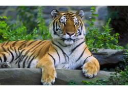 虎,动物391915