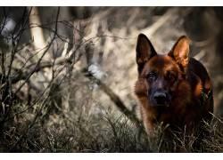 狗,动物,德国牧羊犬428107