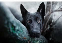 狗,动物,德国牧羊犬602879