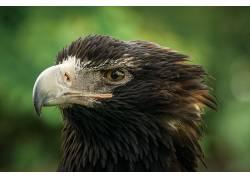 宏,动物,鸟类,鹰439672