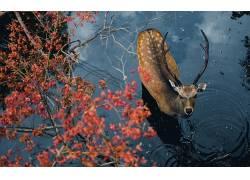 鹿,性质,动物,水,牛角,树木,抬头看,景深506110